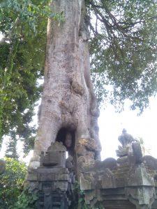 Pohon lanang wadon di Sangeh