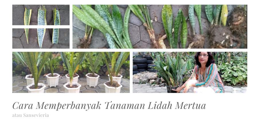 Seri Gardening : Cara Memperbanyak Tanaman Lidah Mertua atau Sansevieria