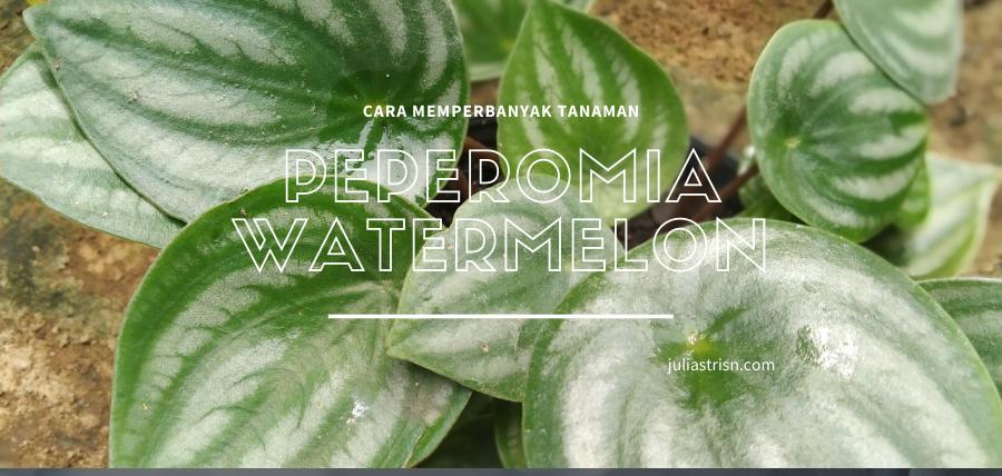 Seri Gardening : Cara Mudah Memperbanyak Tanaman Peperomia Watermelon