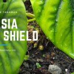 Seri Gardening : Cara Propagasi Tanaman Alocasia Green Shield