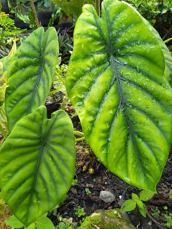 Perawatan Alocasia green shield