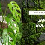 Cara propagasi tanaman Janda Bolong