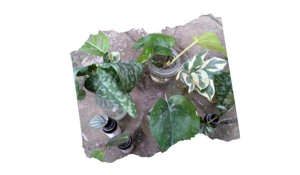 tanaman hias yang di water propagation
