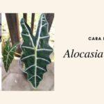 Propagasi Alocasia amazonica