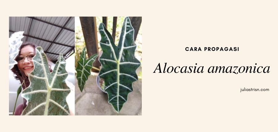 Cara Propagasi Tanaman Hias Alocasia Amazonica