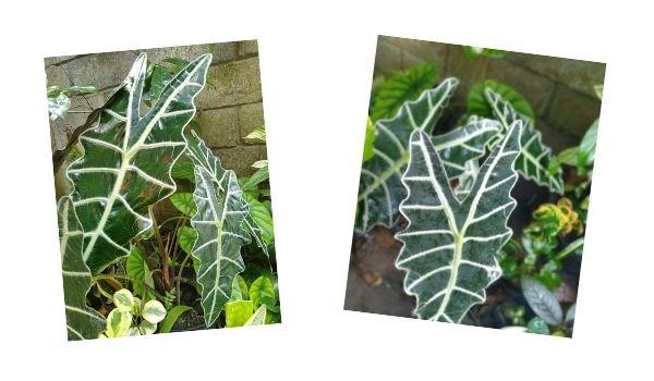 merawat tanaman Alocasia amazonica