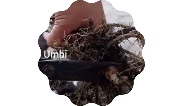 umbi Alocasia amazonica