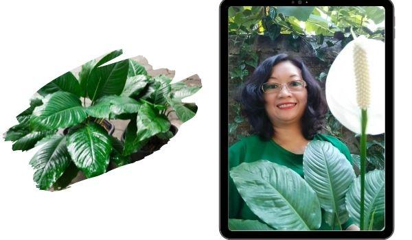 Peace Lily tanaman hias
