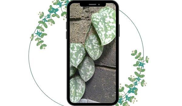 Scindapsus tanaman hias