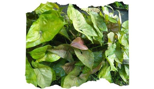 Syngonium tanaman beracun